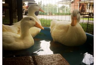 Raising Pekin Ducks