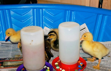 Easy Chick Brooder Ideas