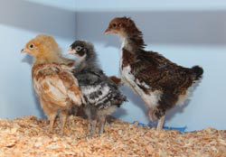 Shiny, Rainbow, Coco, and Mad Dog have feathered out and are admiring their new home.