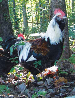 The Faverolle chicken breed was created to supply a Paris market with meat and winter eggs. They are broody and winter-hardy. Photo by Jeannette Beranger/ALBC
