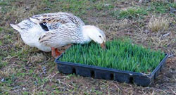 All poultry, including Harvey's chickens and Appleyard ducks, enjoy the benefits of fresh sprouts in cold weather, when other greens aren't as abundant.
