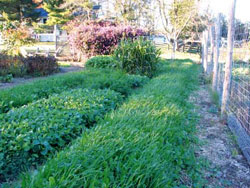 In the late summer and fall, Harvey plants cover crops on every garden bed, usually the same day he takes off the harvest crop. Cold hardy covers such as these mixed crucifers, small grains, and peas provide fresh cut greens for his flock daily, some of them through the entire winter.
