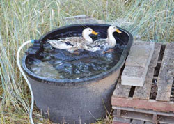 Harvey's ducks and geese bathe year-round in stock watering tubs and tanks of various sizes, fitted with hoses approved for drinking water and float-operated shutoff valves. In winter he uses this one—at 125 gallons or so—the largest he owns—to minimize ice accumulation. He removes the valve to prevent damage from freezing.