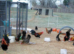 Fresh air and exercise help chickens stay healthy and withstand winter better than most people realize. Photos by Don Schrider