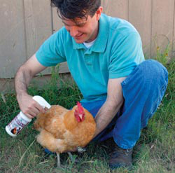 Byron's friend Mike sprays Poultry Protector on a Buff Orpington. It's a non-toxic, all-natural product safe for use in the coop and directly on chickens to help clean away mites, lice, and fleas.