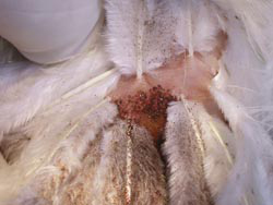 """Northern fowl mites feeding on poultry. From: """"Common Lice and Mites of Poultry: Identification and Treatment."""" ©U.C. Regent."""