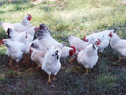 Heritage breeds like the New Hampshire, Delaware (shown here), Plymouth Rock and some of their early crosses were the bedrock of modern meat bird production in the Twentieth Century. Photo courtesy of Melissa Kirby, Alabama.