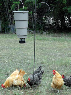 Chickens enjoy foraging for their food and this economical time-release feeder offers an easy solution when there is less foraging material available.