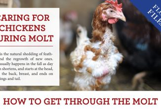 Caring for Chickens During Molt