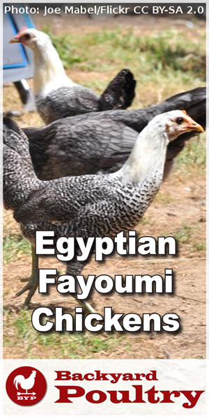 silver-penciled-egyptian-fayoumi-chickens