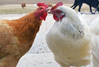 Ask the Expert: Pecking