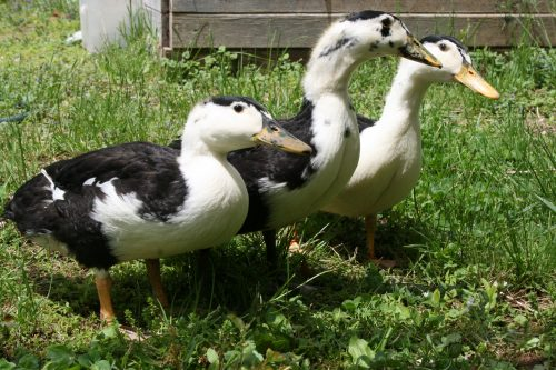 Duck-Safe Plants and Weeds From the Garden