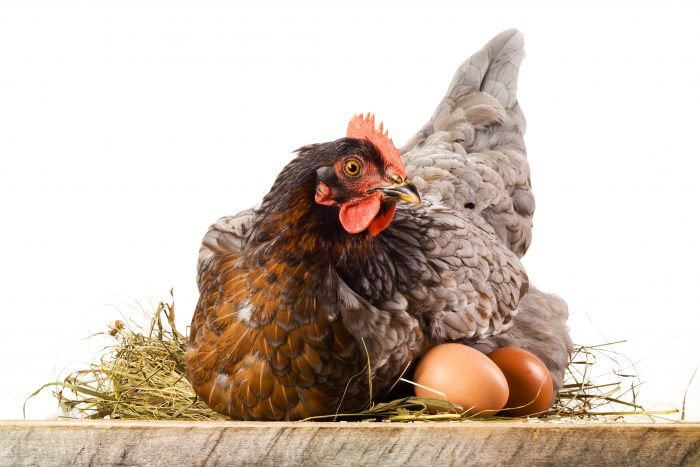 Broody Chicken Breeds: A Frequently Under-Valued Asset