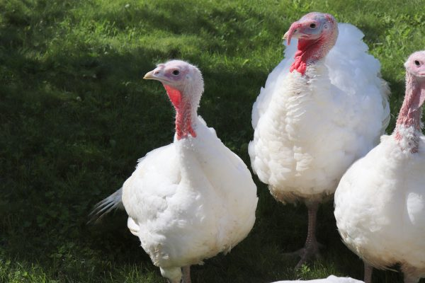 Butchering Turkeys: From Gobble to Table