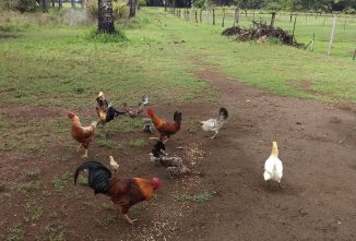 The Secret Life of Poultry: Kauai's Feral Chickens