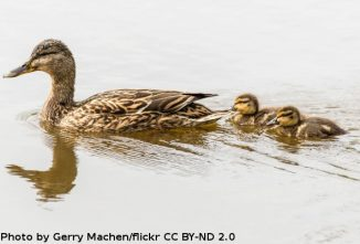 Chick and Duckling Imprinting