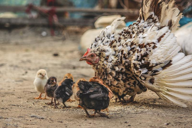 mother-hen-protects-chicks