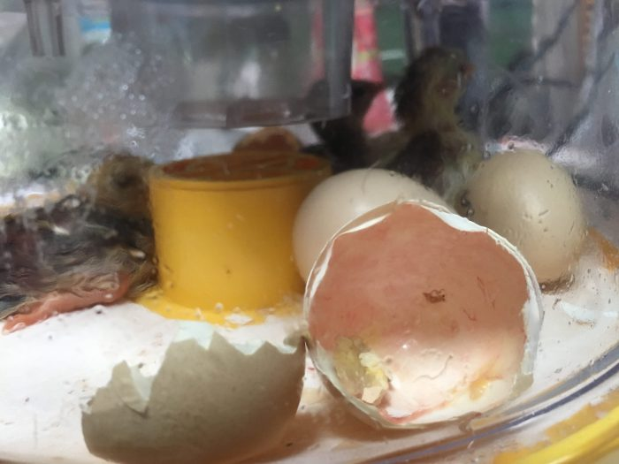 Hatching Eggs for Sale! Getting Started with Incubation