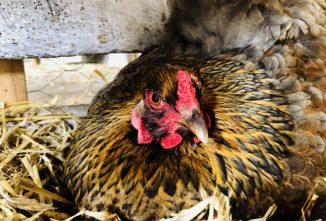 When Breaking a Broody Hen is Necessary