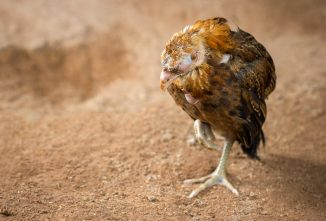 All Cooped Up: Fowl Typhoid and Pullorum Disease