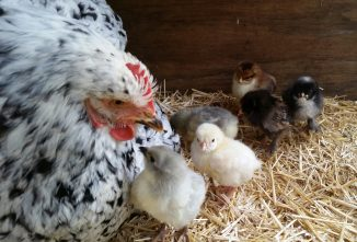 Efficiently Hatching Eggs with a Broody Chicken