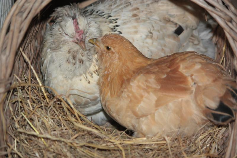 chick-in-nest-with-mother