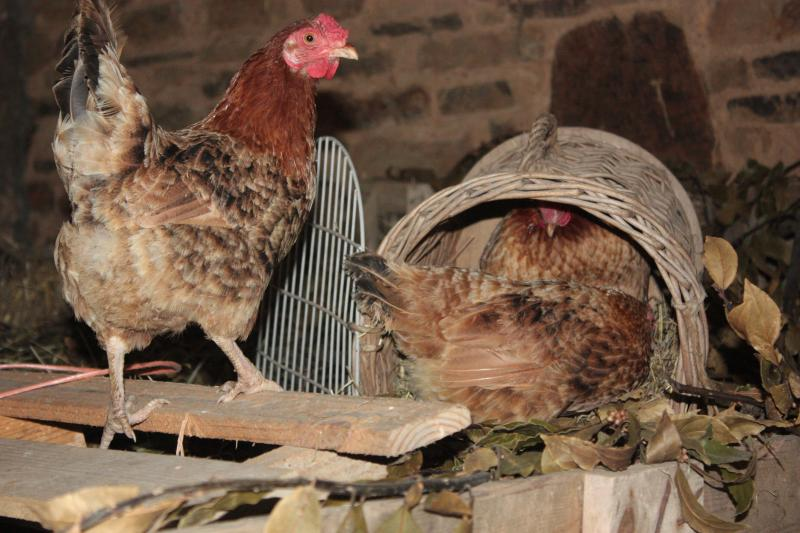 chickens-waiting-for-nest