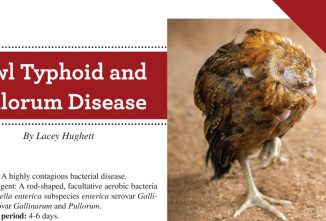 Fowl Typhoid and Pullorum Disease