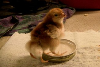 The Four-Legged Chick