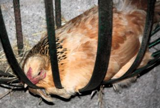 Chicken Nests: How to Get Chickens to Use Nesting Box