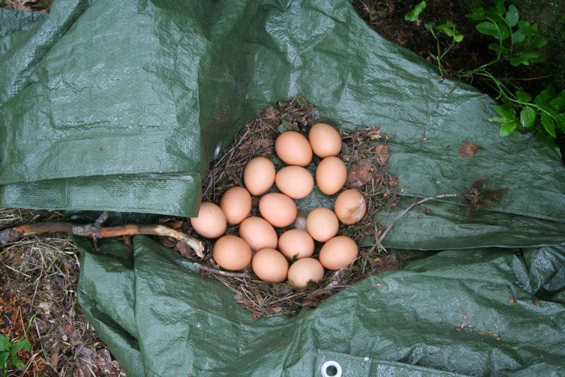 laying-eggs-on-the-ground-tarp