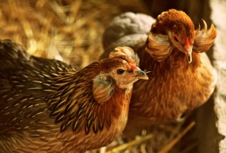 All About Araucana Chickens