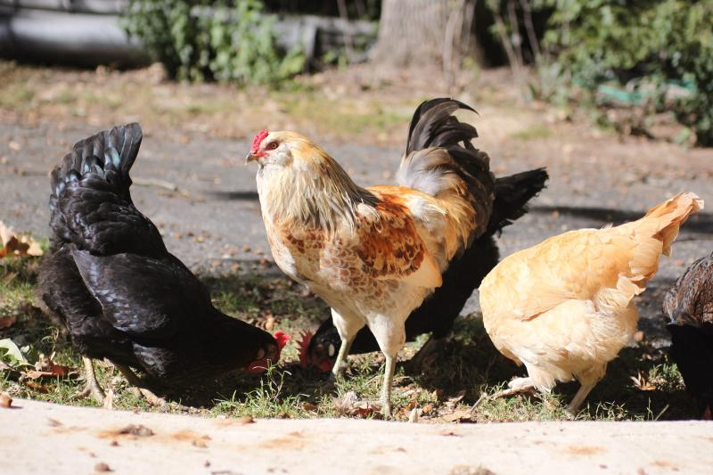 chickens-foraging