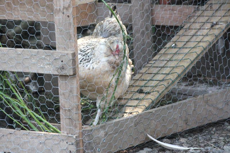 frustrated-hen-pacing