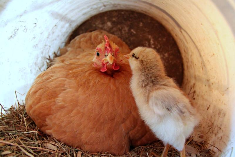 hen-and-chick-hiding