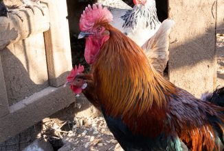Chickens and the Complications of a Bird Respiratory System