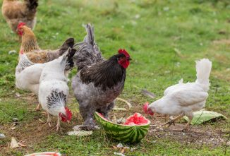 Treats for Chickens: A Nutritional Analysis