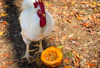 Pumpkin Seeds for Chickens — Do the Seeds Stop Worms?
