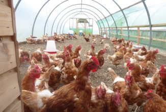 Hens in Prison — and Loving It!