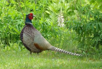 Raising Pheasants for Profit
