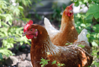 Plants Poisonous to Chickens