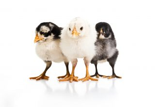 Treating Common Chick Ailments