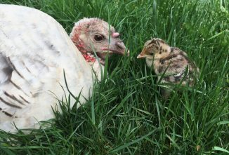 Tips for Naturally Brooding Heritage Turkeys