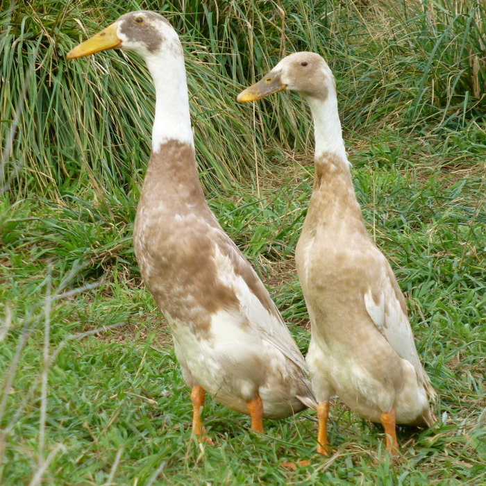 white-and-fawn-runner-duck