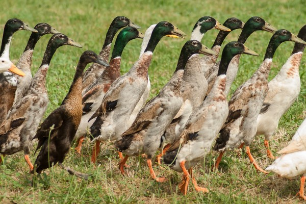 Breed Profile: Indian Runner Duck