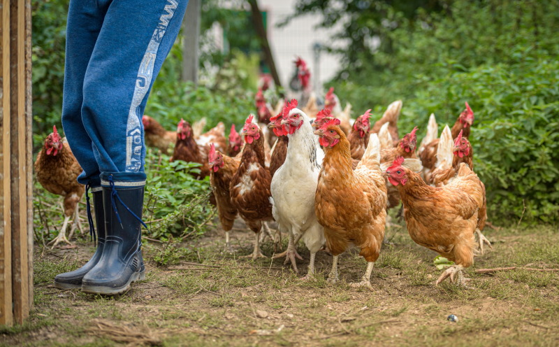 chickens-anticipating-feed