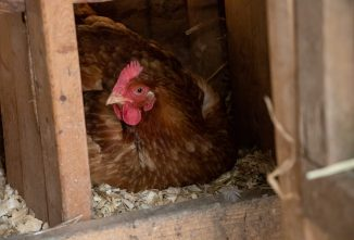 How to Get Rid of Chicken Mites and Lice – Naturally