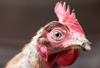 Do Chickens Have Feelings, Emotions, and Sentience?
