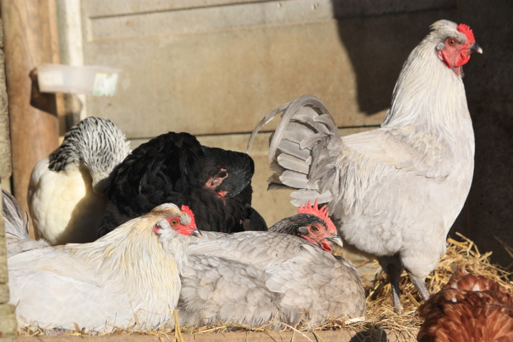 contented-chickens