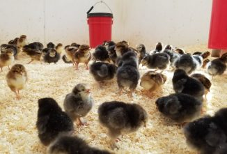Biosecurity for Chickens: The First Line Of Defense